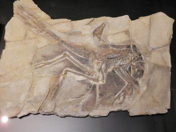アンキオルニス化石.jpg