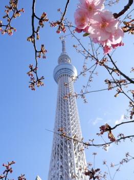 スカイツリーと桜.jpg