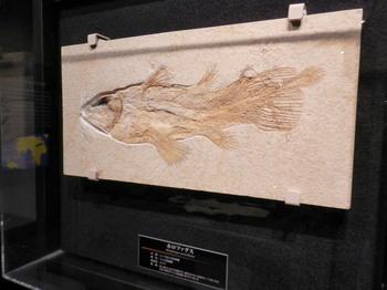 フォロファクスの化石.jpg