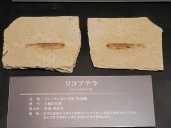 リコプテラの化石.jpg
