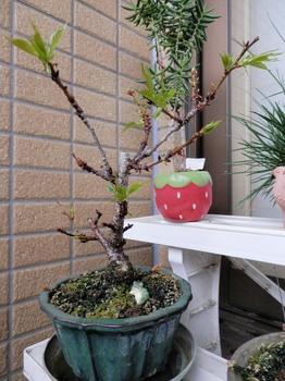 一寸桜.jpg