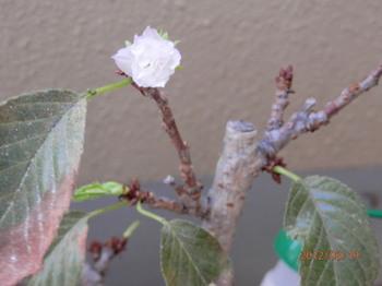 一寸桜2.jpg
