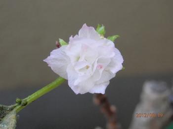 一寸桜3.jpg