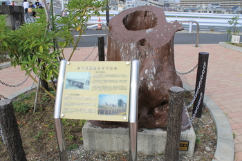 中川橋橋詰のタブの木.JPG