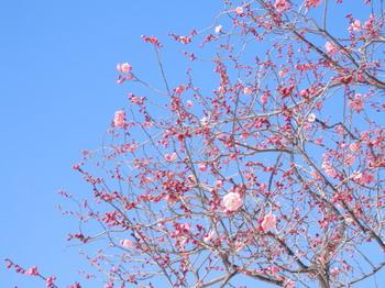 向島百花園(梅まつり)2.jpg