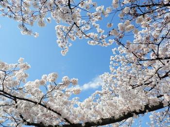 墨堤桜まつり(花見酒)地点2頭上の桜.jpg