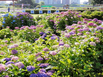 小岩菖蒲園(全景).jpg