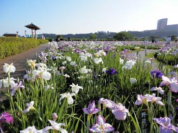 小岩菖蒲園(紫陽花6).jpg