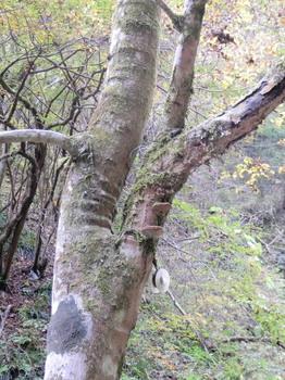 払沢の滝(天然の椎茸).jpg