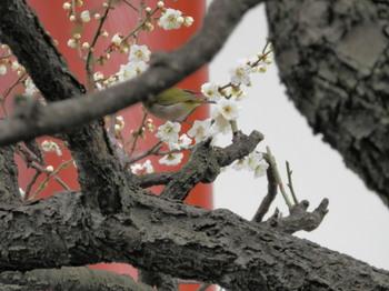 日枝神社(梅にメジロ).jpg