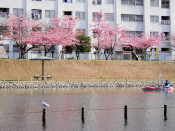 旧中川(河津桜とカヌー).jpg