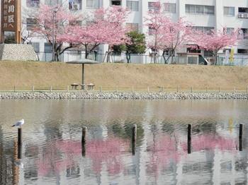 旧中川(逆さ河津桜).jpg