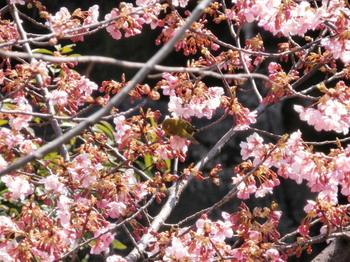 桜にメジロ.jpg
