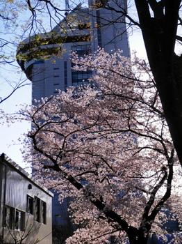 桜越しの文京シビックセンター.jpg