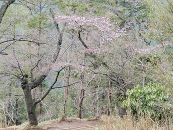 桜(もみじ台).jpg