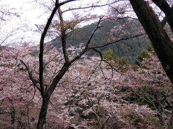 桜(もみじ台~一丁平).jpg