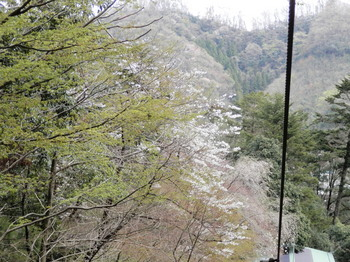 桜(エコーリフト).jpg