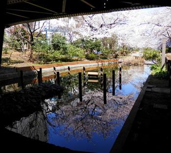 桜(大横川親水公園).jpg