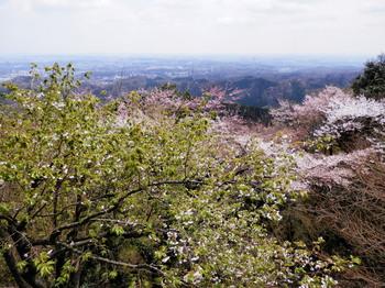桜(霞台).jpg