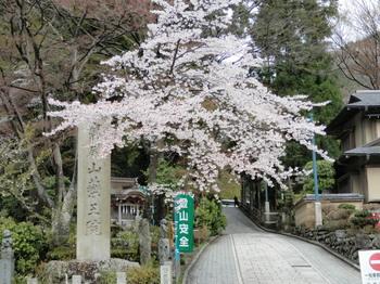 桜(1号路登山口).jpg