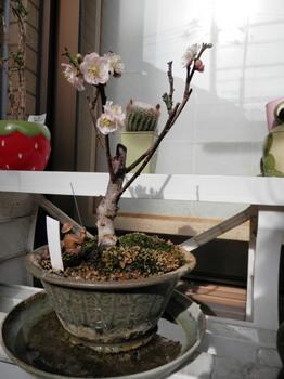 梅(ミニ盆栽).jpg