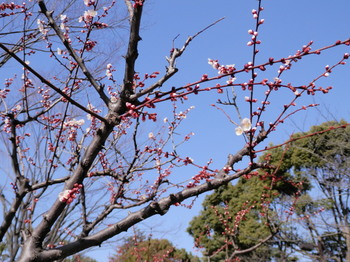 梅(亀戸中央公園).jpg