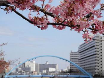 河津桜とふれあい橋.jpg