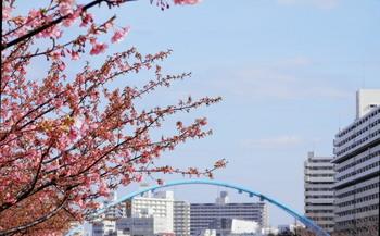 河津桜とふれあい橋2.jpg