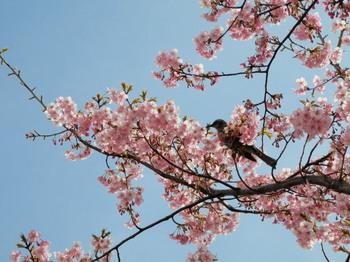 河津桜とツグミ.jpg