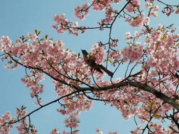 河津桜とツグミ2.jpg