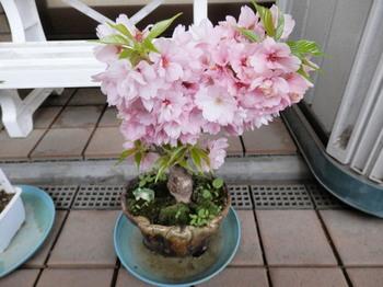 満開の一寸桜.jpg