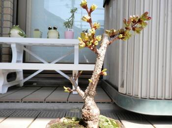 盆栽(一寸桜)4月1日の昼.jpg