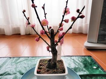 盆栽(梅)2.jpg