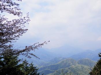 石老山(山頂)山桜.jpg