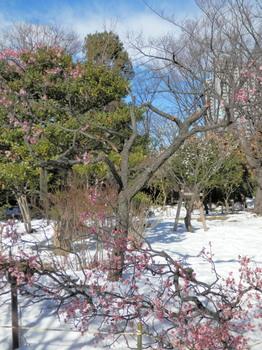 積雪で折れた梅の枝.jpg