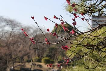 隅田公園の梅.JPG