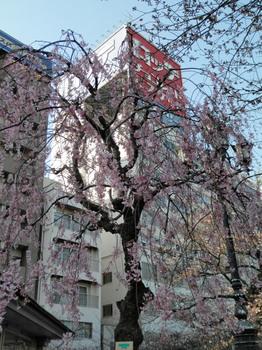 隅田公園(枝垂れ桜).jpg
