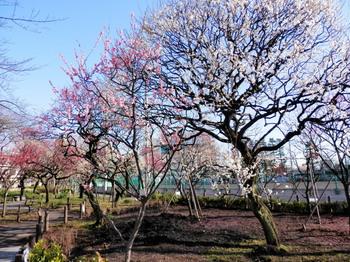隅田公園(梅園).jpg