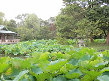 鶴岡八幡宮(源平池の蓮2).jpg
